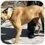 Photo 1 - Boxer Dog for adoption in Gainesville, Florida - Ion