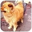 Photo 4 - Belgian Tervuren/Chow Chow Mix Dog for adoption in New York, New York - Zena