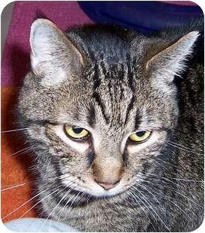 Domestic Shorthair Cat for adoption in Oklahoma City, Oklahoma - Bob (Mr Robertson)
