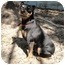 Photo 2 - Miniature Pinscher Dog for adoption in Tampa, Florida - Miles
