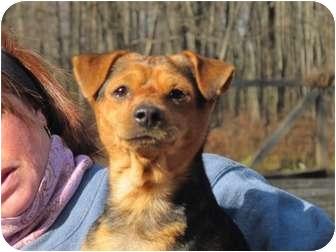 Miniature Pinscher/Beagle Mix Dog for adoption in Long Beach, New York - Mookie