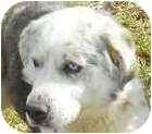 Australian Shepherd/Alaskan Malamute Mix Dog for adoption in Lincolnton, North Carolina - Maddox