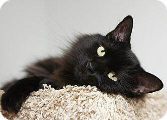 Domestic Mediumhair Cat for adoption in Houston, Texas - Elvira