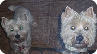 Westie, West Highland White Terrier Dog for adoption in Charleston, South Carolina - Buddy