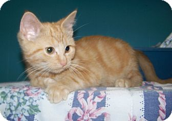 Domestic Shorthair Kitten for adoption in Dover, Ohio - Beau
