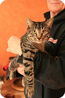 Domestic Shorthair Cat for adoption in Tillamook, Oregon - Thena