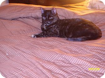 Domestic Shorthair Cat for adoption in Manassas, Virginia - Zola