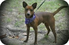 Miniature Pinscher Mix Dog for adoption in Cranford, New Jersey - Coffee