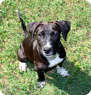 Pit Bull Terrier Mix Puppy for adoption in Evansville, Indiana - Larry