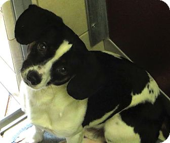 Beagle/Terrier (Unknown Type, Small) Mix Dog for adoption in Middletown, New York - Radar