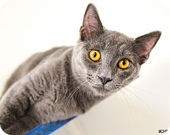 Domestic Shorthair Cat for adoption in Martinsville, Indiana - Alfie