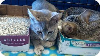 Domestic Shorthair Kitten for adoption in Avon, Ohio - Annette