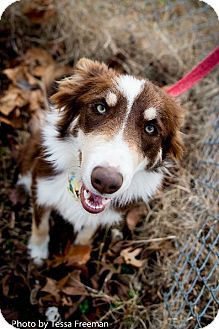Border Collie Mix Dog for adoption in Muldrow, Oklahoma - Cyrus