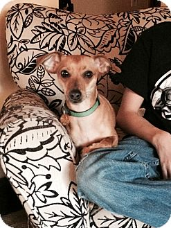 Miniature Pinscher/Chihuahua Mix Dog for adoption in Mentor, Ohio - SADIE***only 10 POUNDS and 18 MONTHS OLD!!