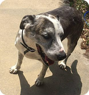 Catahoula Leopard Dog/Great Dane Mix Dog for adoption in Bunnell, Florida - Truman