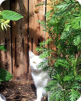 Domestic Shorthair Cat for adoption in Las Vegas, Nevada - Marsh-Mellow