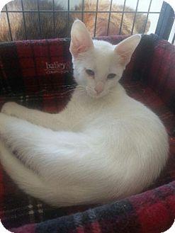 Siamese Kitten for adoption in Hamilton, Ontario - Nerys