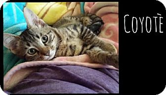 Domestic Shorthair Kitten for adoption in Flower Mound, Texas - Coyote