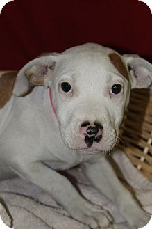 American Bulldog Mix Puppy for adoption in Waldorf, Maryland - Frenchie