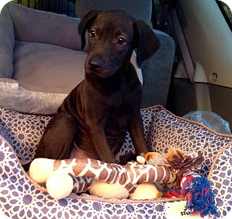 Labrador Retriever/Australian Cattle Dog Mix Puppy for adoption in Phoenix, Arizona - Jasmine