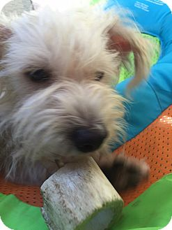 Maltese/Cairn Terrier Mix Dog for adoption in Pasadena, California - ROKO