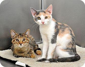 Calico Kitten for adoption in Oakdale, California - Ellie