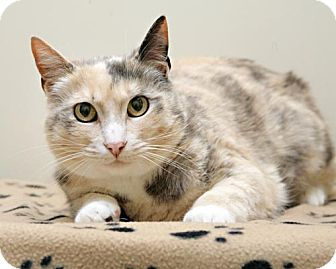 Domestic Shorthair Cat for adoption in Bellingham, Washington - Layla