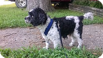 Shih Tzu Mix Dog for adoption in Richmond, Virginia - Sammy