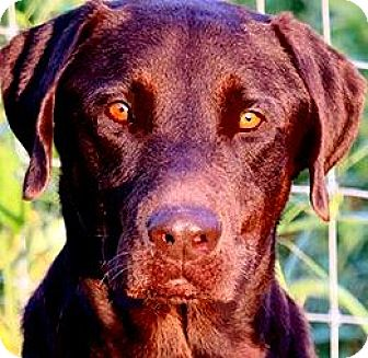 Labrador Retriever Dog for adoption in Wakefield, Rhode Island - DUKE(LOVES HIS FAMILY!!! WOW!!