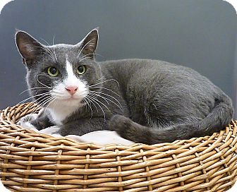 Russian Blue Cat for adoption in Houston, Texas - Bruno