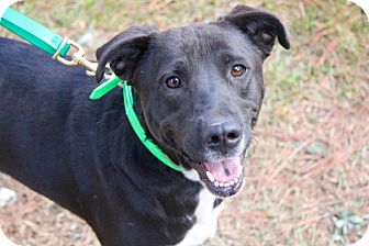 Labrador Retriever Mix Dog for adoption in Ruston, Louisiana - Genevieve