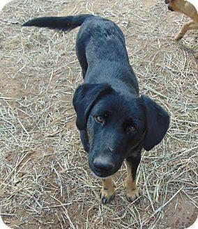Labrador Retriever Mix Dog for adoption in Seattle, Washington - Momba