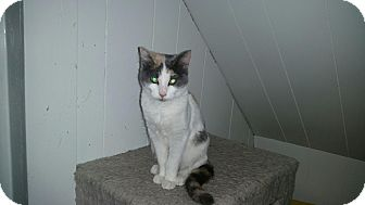 Domestic Shorthair Cat for adoption in Roseburg, Oregon - Mocha