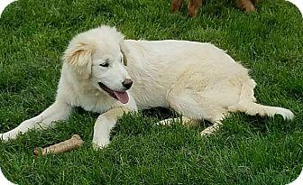 Great Pyrenees/Anatolian Shepherd Mix Dog for adoption in New Oxford, Pennsylvania - Blizzard