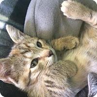 Adopt A Pet :: Pinto - Philadelphia, PA