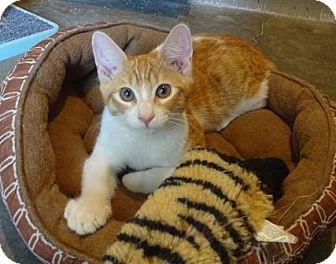 Domestic Shorthair Kitten for adoption in Lathrop, California - Kabuki