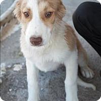 Adopt A Pet :: Grace - Iran Pup - Encino, CA