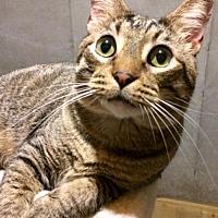 Adopt A Pet :: Benny - O'Fallon, MO