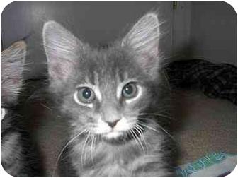 Maine Coon Kitten for adoption in Davis, California - Finian