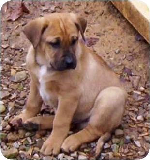 Boxer/Labrador Retriever Mix Puppy for adoption in Proctorville, Ohio, Ohio - Eddie