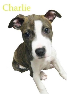Boxer/Pit Bull Terrier Mix Puppy for adoption in Portland, Oregon - Charlie
