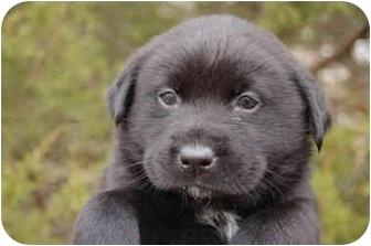 Labrador Retriever Mix Puppy for adoption in White Plains, New York - Hopper