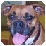 Photo 1 - Boxer Dog for adoption in W. Columbia, South Carolina - Annabelle