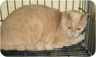 Domestic Shorthair Cat for adoption in Stillwater, Oklahoma - Handsome