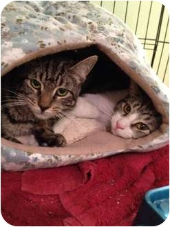 Domestic Shorthair Cat for adoption in East Hanover, New Jersey - Harry and Sammy