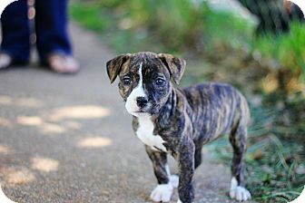 American Pit Bull Terrier Mix Puppy for adoption in Reisterstown, Maryland - Khaleesi