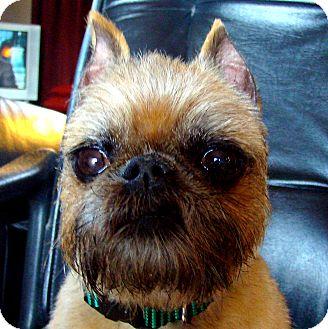 Brussels Griffon Dog for adoption in Lemont, Illinois - GARVEY - ADOPTION PENDING