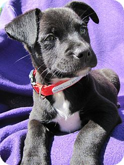 Retriever (Unknown Type) Mix Puppy for adoption in Westminster, Colorado - Java Chip