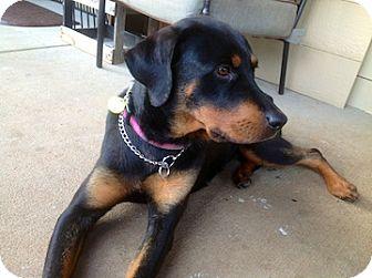 Rottweiler Dog for adoption in Greenville, South Carolina - Lady (Lyman)