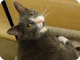 Domestic Shorthair Cat for adoption in Diamond Bar, California - ALI